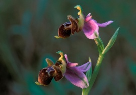 Abejera becada (Ophrys scolapax)