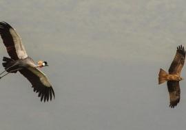 Grulla coronada (Balearica regulorum) y Milano negro (Milvus migrans)