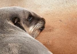 Lobo marino (Arctocephalus pusillus) mamando. Cape Cross