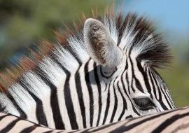 Cebra de Burchell (Equus burchellii)