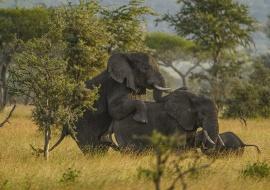 Cópula de elefante (Loxodonta africana)