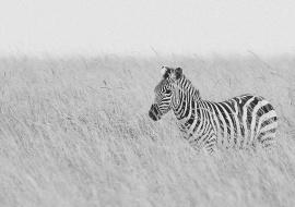 Cebra (Equus quagga) en la sabana