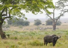 Búfalo cafre (Syncerus caffer) en el cráter del Ngorongoro