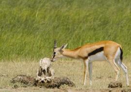 Gacela de Thompson (Gazella rufifrons) y cráneo de búfalo