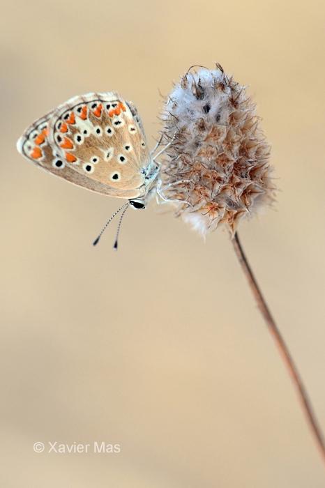 Polyommatus celina. Ibiza.