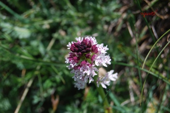orquidea de Catalunya