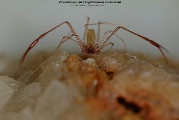 Pseudoescorpi Troglobisium racovitzai - Cv. La Merla – Roda de Berá Comarca del Tarragonès