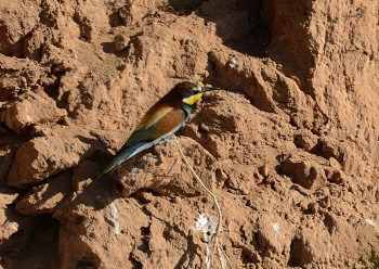 Abellerol (Merops apiaster) LA NOGUERA