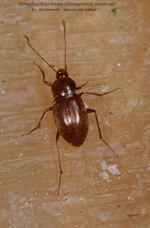 Trogocharinus elongatus mateui - cv. Garrofet Querol Comarca de l'Alt Camp