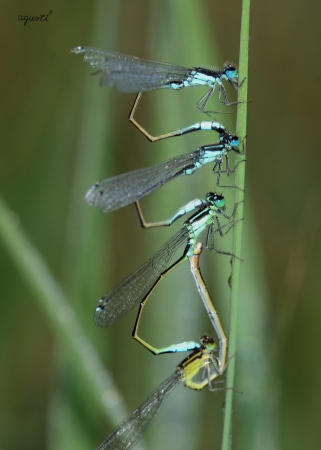 Tandem de Ischnura elegans - petit aiguamolls de Cala Castell - Palamos