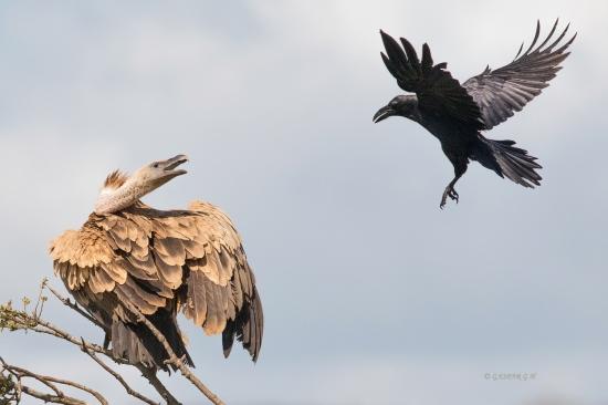Cuervo molestando