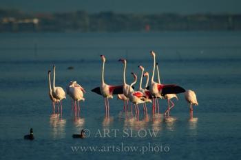 Postureo - Bahía del Fangar, Reserva Natural del Delta del Ebro, Catalunya. Edición: 10/10 + 2P/A