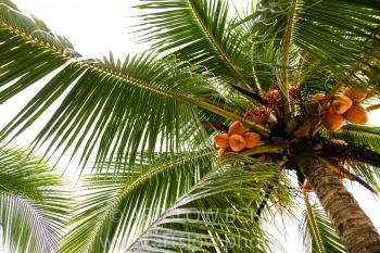2002-9578-Cocoteros3, Bocas del Toro,Isla de Colón, Panamá