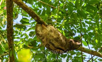 2002-9698- Perezoso de tres dedos, (Bradypus variegatus),- Parque metropolitano Panama
