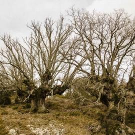 Quejigos y encinas. Sierra del Madero. Soria