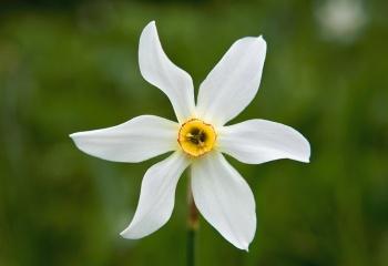 """Narciso de los poetas - """"Narcissus poeticus"""""""