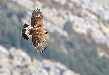 "Águila real joven - ""Aquila chrysaetos"""