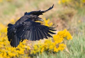 "Cuervo - ""Corvus corax"""