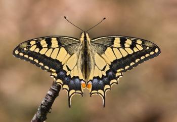 """Macaón - """"Papilio machaon"""""""