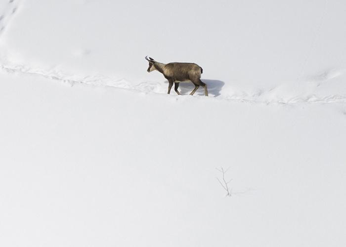 rupicapra - el invierno del rebeco
