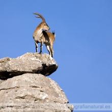 311-Cabra montés (Capra pyrenaica)