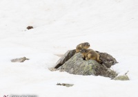 Marmots in Pyrenees