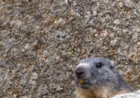 Marmota - Pirineos