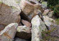 Marmot - Pyrenees