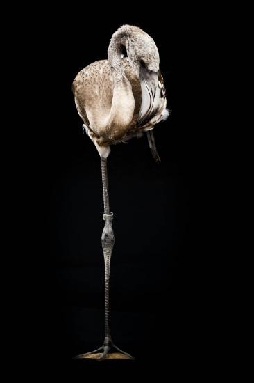 Polluelo de flamenco
