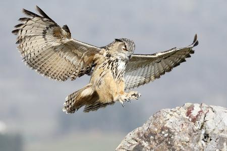 Buho Real-Eagle-Owl-(Buho buho)
