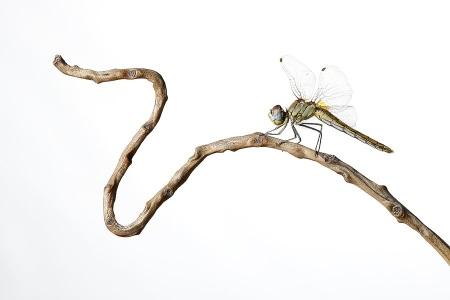 Libelura Roja-Dragonfly -(Sympetrum striolatum)