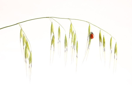 Mariquita-Ladybird -(Coccinellidae)