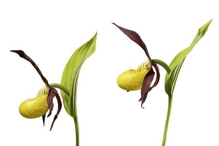 Zapatito de Dama Orquidea-Lady´s-slipper orchid -(Cipripedium calceolus)