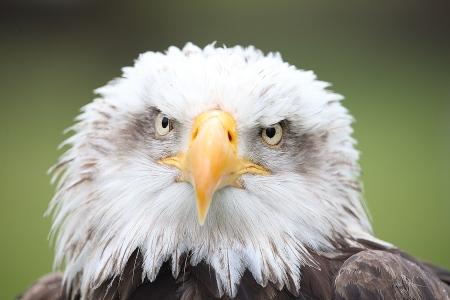 Aguila Calva (Haliaeetus leucocephalus)