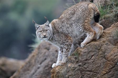 Lince Boreal (Lynx lynx)
