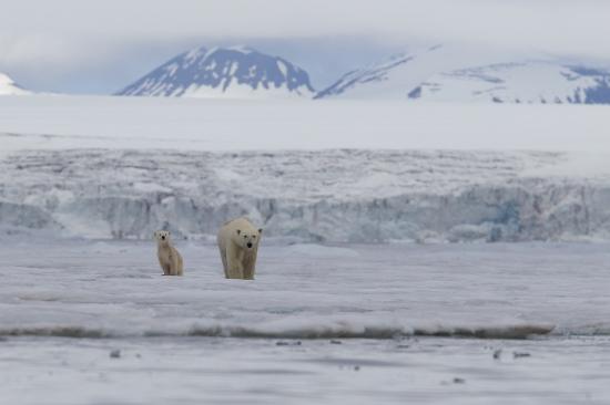 Glaciar en Svalbard Oso Polar-Polar Bear-(Ursus Maritimus)