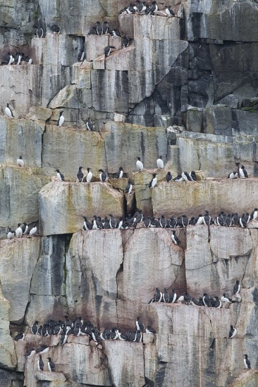 Svalbard colonia de aves