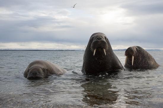 Svalbard Morsa-Walrus-(Odoberus rosmarus)