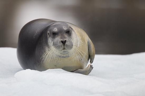 Svalbard Foca barbuda-Bearded seal-(Erignathus barbatus)
