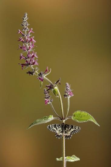 Mariposa arlequín- Spanish Festoon-(Zerynthia  polyxena)