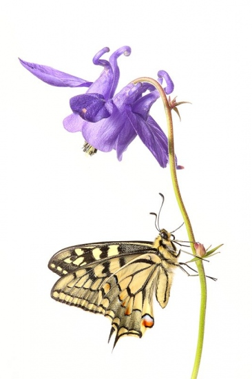 Mariposa de Papilio Machaon-Old World Swallowtail -(Papilio Machaon)