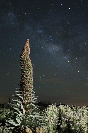 Tajinaste Rojo Echium wildpretii, Teide, Tenerife