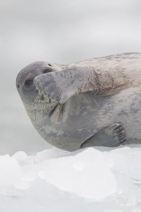 Svalbard Foca anillada-Ringed seal-(Pusa hispida)