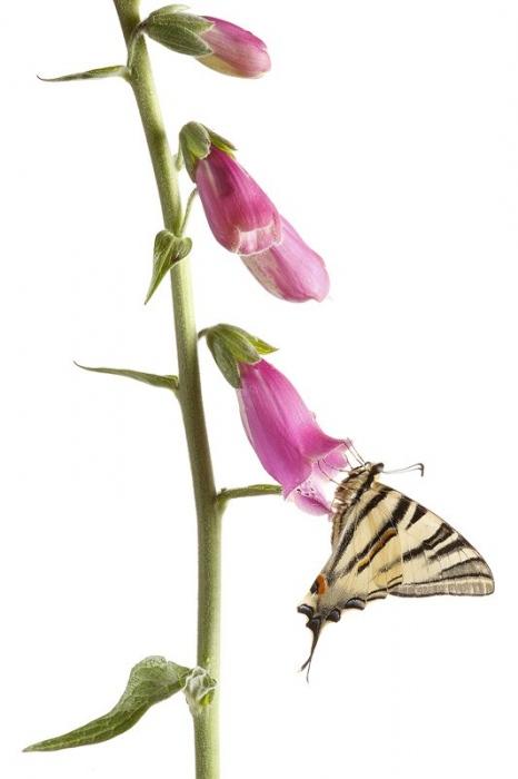 Mariposa Chupa leches-Scarce Swallowtail-(Iphiclides podalirius)