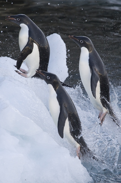 Pinguino Adelia - Adelie penguin - (Pygoscelis adeliae)