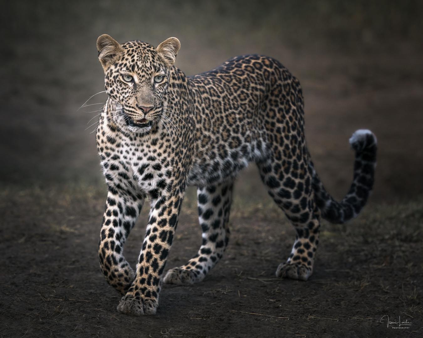Leopardos - Isaac Loiola, Photography