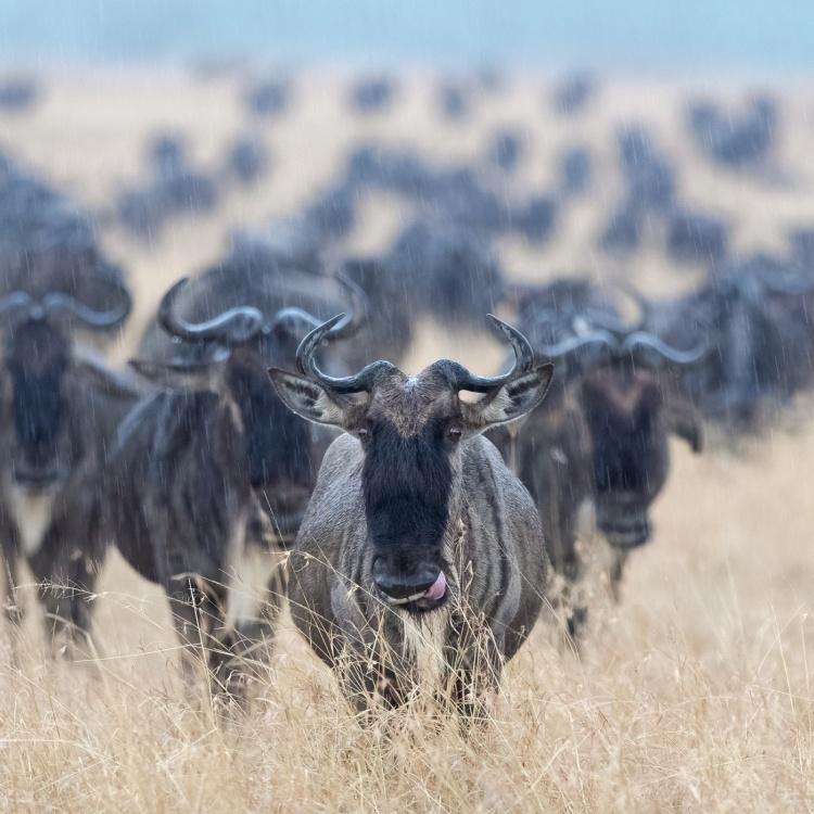Wldebeest - Masai Mara
