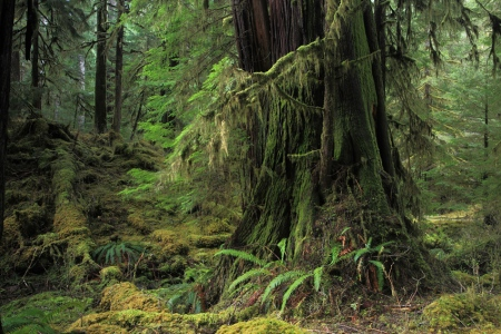 Quinault Rain Forest, Olympic National Park, Washington, Abril 2011.