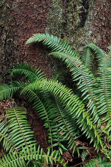 Hoh Rain Forest, Olympic National Park, Washington, Abril 2011.