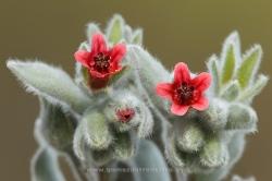 Cynoglossum cheirifolium. La Rioja